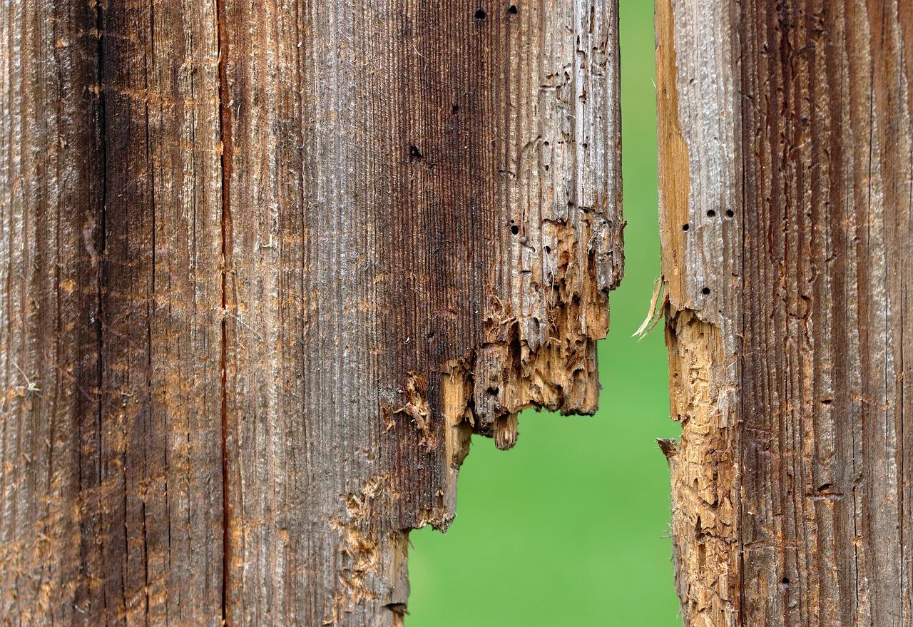 Door De Klimaatverandering Meer Last Van Houtwormen